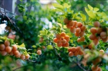 yellow myro